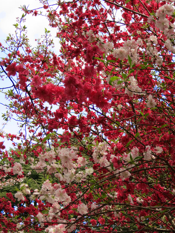tokyo-gyoen-parc-cerisier-rouge