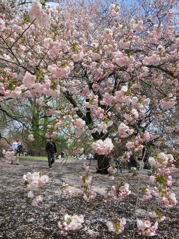 tokyo-gyoen-parc-cerisier
