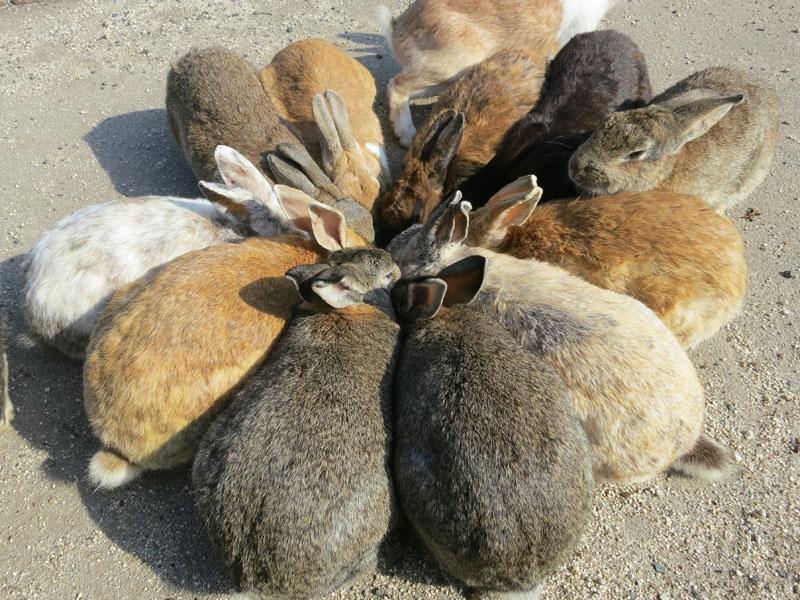 okunoshima-lapins-en-cercle