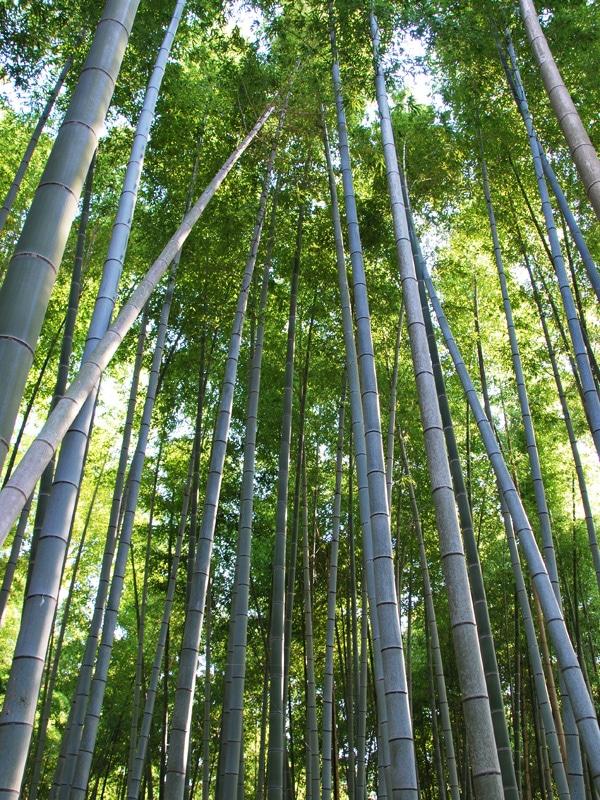 kyoto-2017-fushimi-inari-bamboo