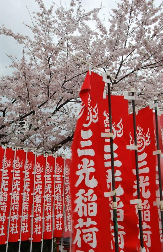 inuyama-2016-kakemono-cerisier