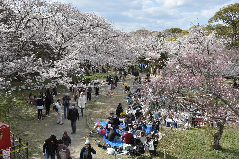 fukuoka 2019 maizuru-park-hanami