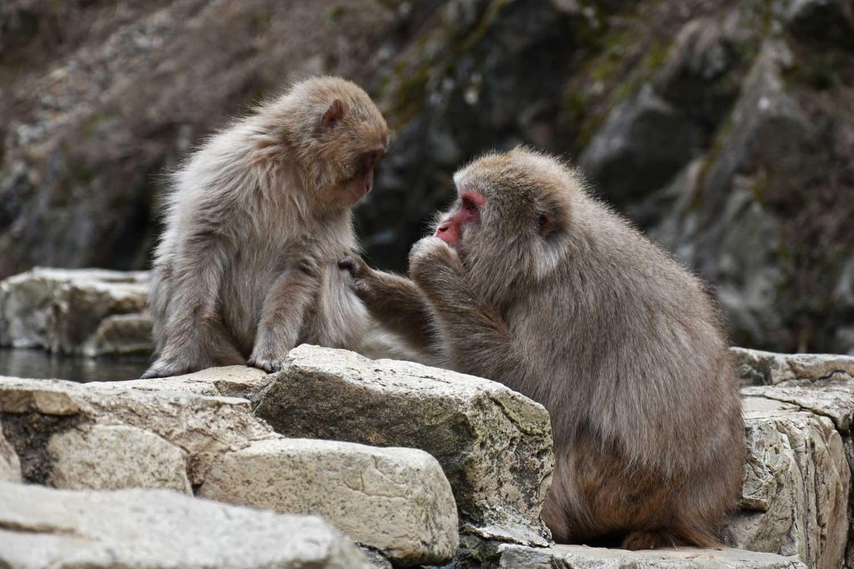 jigokudani-2019-jigokudani-snow-monkey-park-onsen-singes-