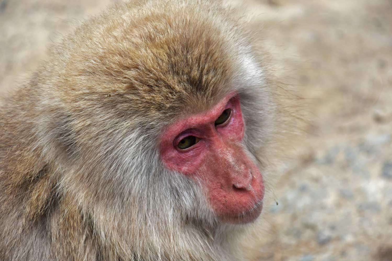 jigokudani-2019-jigokudani-snow-monkey-park-onsen-singes