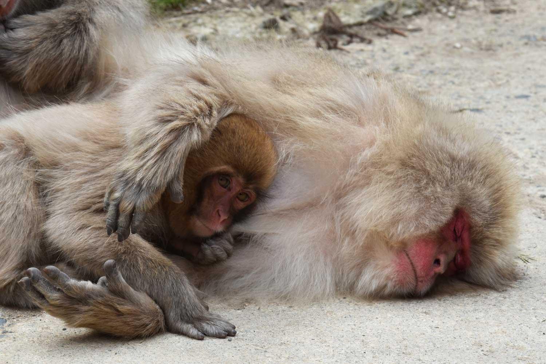jigokudani-2019-jigokudani-snow-monkey-park-singes-
