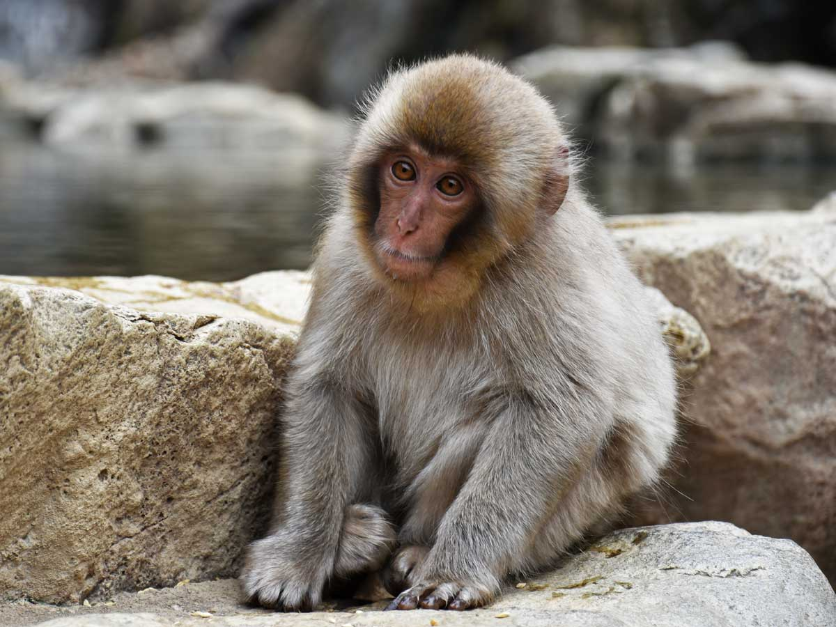 Shibu Onsen et le Jigokudani Snow Monkey Park 2019