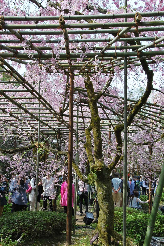 kyoto-2016-heian-jingu-cerisier-shidare.3