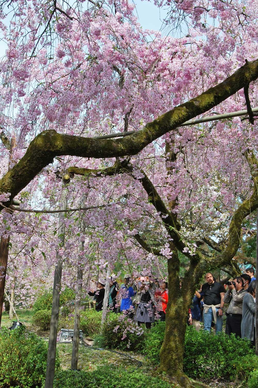 kyoto-2016-heian-jingu-cerisier-shidare.4