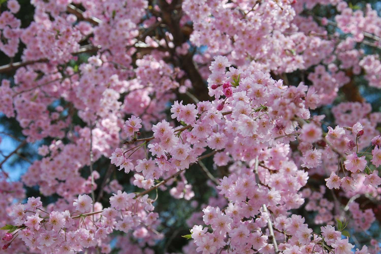 kyoto-2016-heian-jingu-cerisier-shidare.5