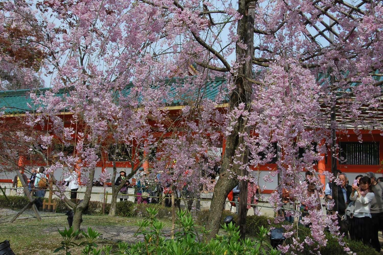 kyoto-2016-heian-jingu-cerisier-shidare