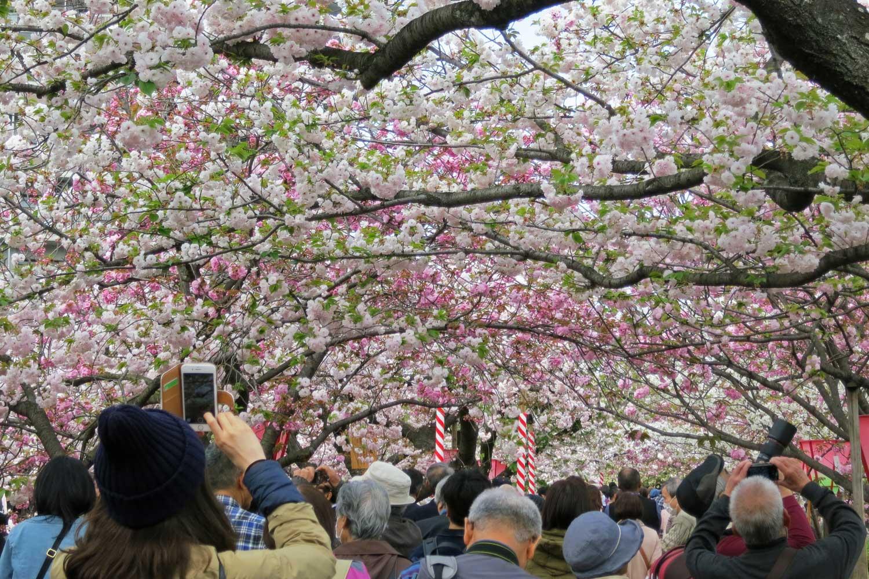 osaka-2016-cerisiers-mint-museum-2