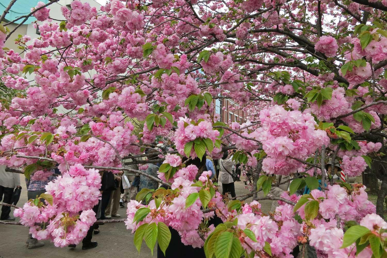 osaka-2016-cerisiers-mint-museum-4