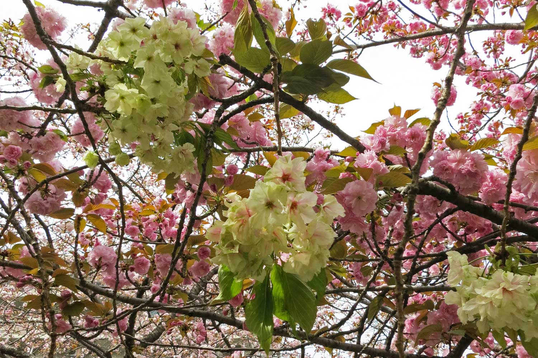 osaka-2016-cerisiers-mint-museum-5